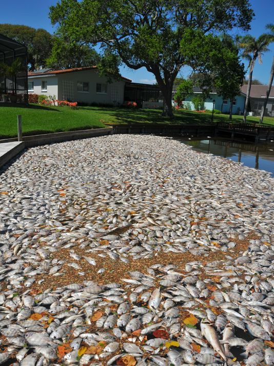 Indian-River-Lagoon-fish-kill-in-Florida-3