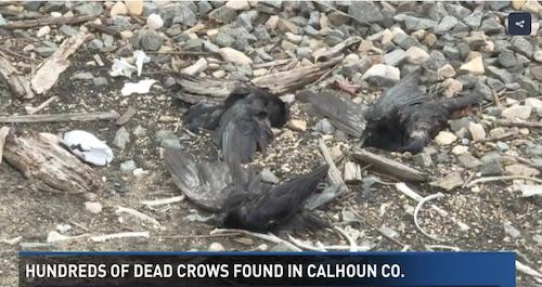 dead-crows-03