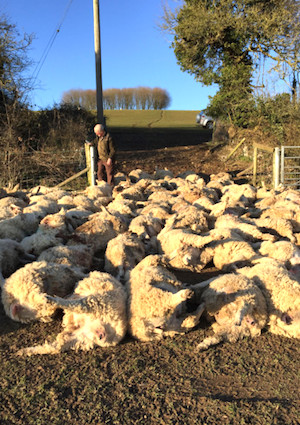 All 116 sheep and the farmer who found them. Police pics