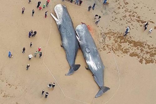 german-whale-dieoff