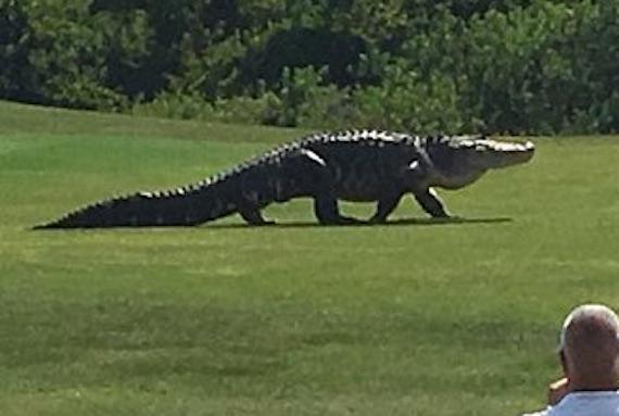 giant-alligater-02