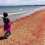 Millions of pelagic red crabs washed up on Del Monte Beach in Monterey on Monday, May 23, 2016.  (Vern Fisher - Monterey Herald)