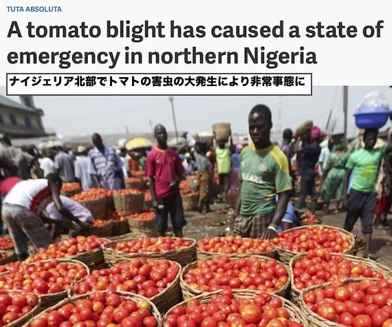 nigeria-tuta-absoluta-tomato-emergency