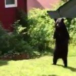 bear-walking-01