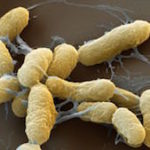 plague-bacteria