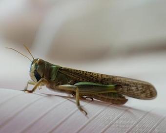 russia-locust-invasion