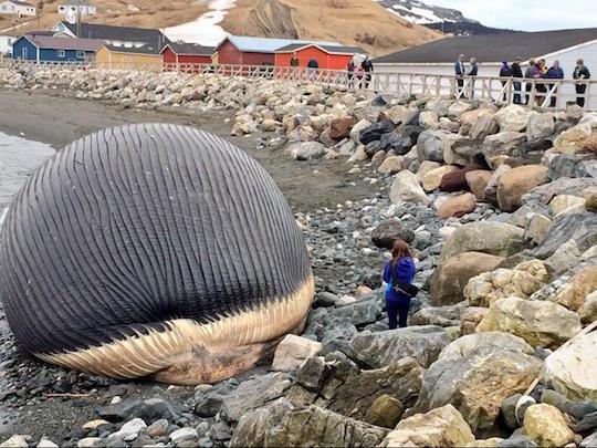 canada-whale-carcass
