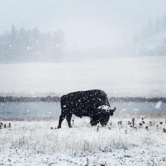 snowstorm-yellowstone-blizzard