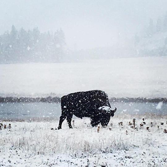 snowstorm-yellowstone-blizzard