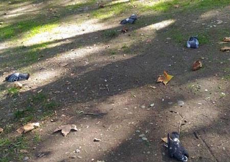sochi-pigeons