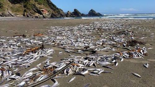 4-tons-sardines-beach-chile-02