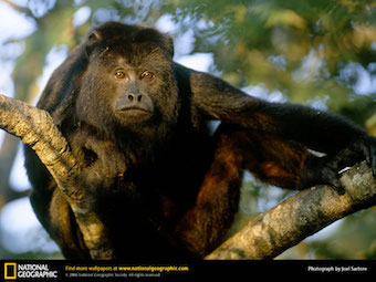 black-howler-monkey