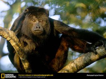 black-howler-monkey