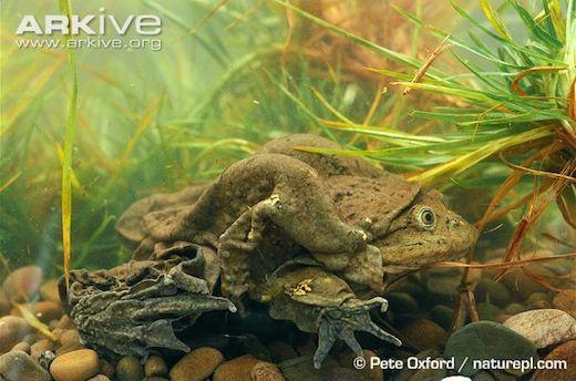 Photo from ARKive of the Titicaca water frog (Telmatobius culeus) - http://www.arkive.org/titicaca-water-frog/telmatobius-culeus/image-G19128.html