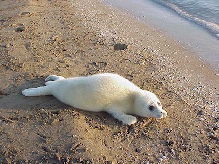 caspian-seal-baby
