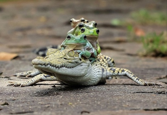 frog-on-crocodile
