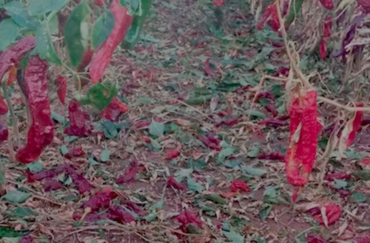hail-crop-dameged