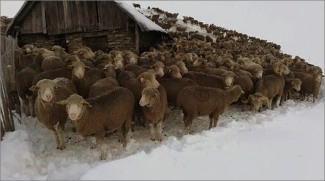 https://earthreview.net/wp-content/uploads/2020/09/sheep-snow-fr0925.jpg